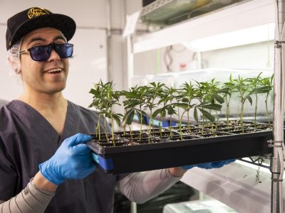 Pat Hogan, propagation and research and development management at Illinois Grown Medicine, shows a tray of clones of medical marijuana plants in the vegetative room at the cultivation center in Elk Grove Village, Monday morning. File Photo. | Ashlee Rezin/Sun-Times