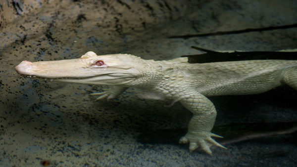 Rare Albino Alligator to Make Summer Home at Brookfield Zoo