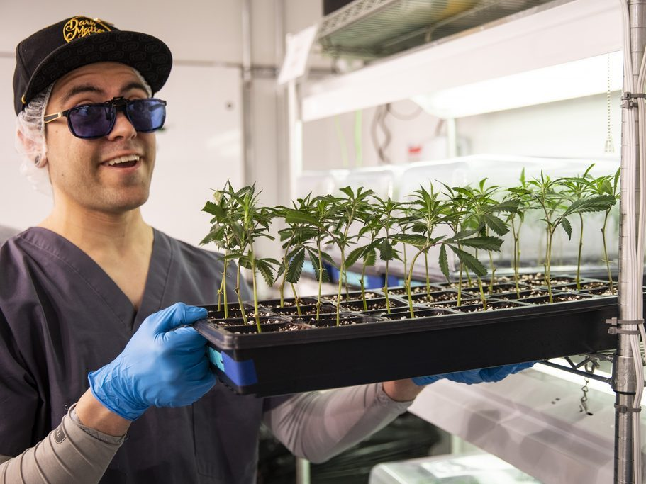 Pat Hogan, propagation and research and development management at Illinois Grown Medicine, shows a tray of clones of medical marijuana plants in the vegetative room at the cultivation center in Elk Grove Village, Monday morning, May 6, 2019. | Ashlee Rezin/Sun-Times