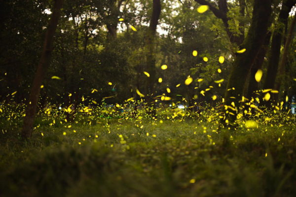 There Are More Lightning Bugs in the Chicago Area This Summer. Here's Why