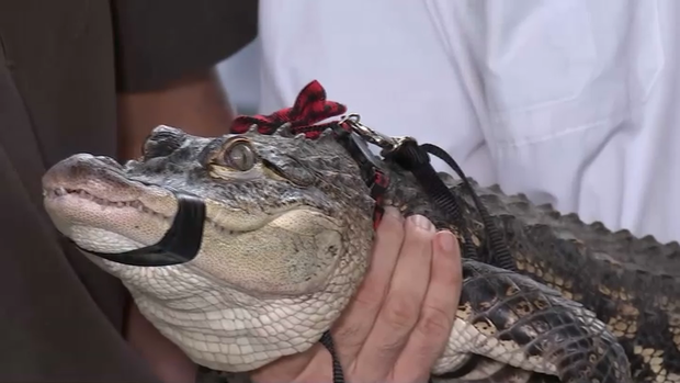 [CHI] Meet 'Chance the Snapper' Alligator Caught in Chicago Lagoon