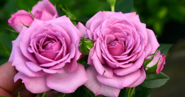 The Smart Way to Grow Roses